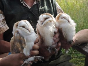 3 Female Barn Owl Chicks