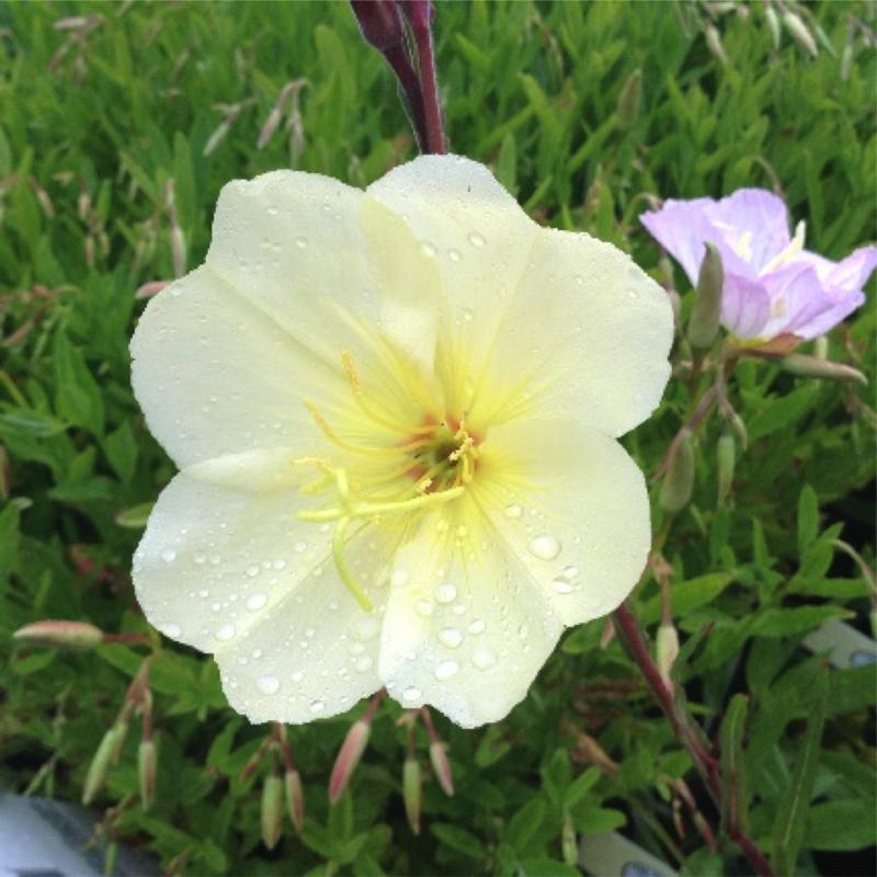 Oenothera 'Sulphurea'