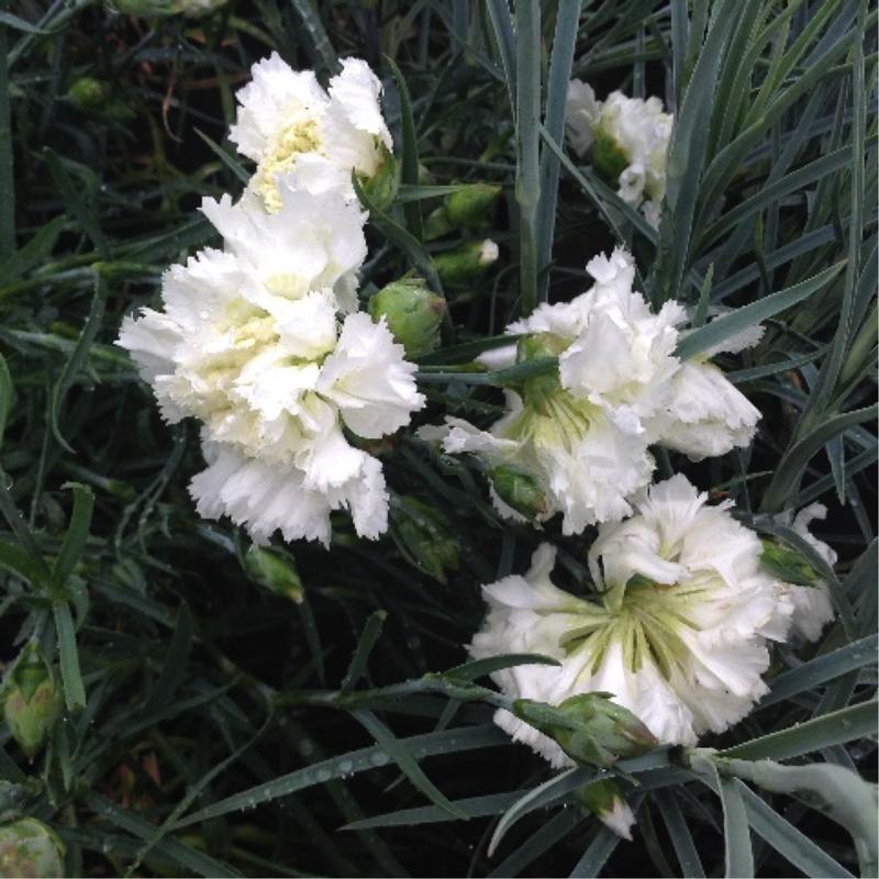 Dianthus 'Mrs Sinkins'