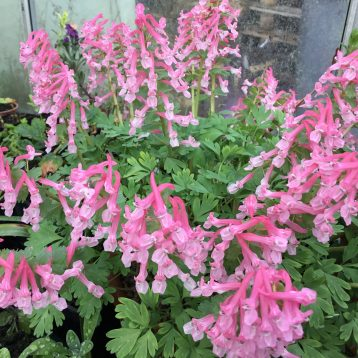 Musings of a Plant Centre Manager: Tough Plants for Cold Gardens