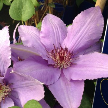 Musings of a Plant Centre Manager: Colourful Climbers